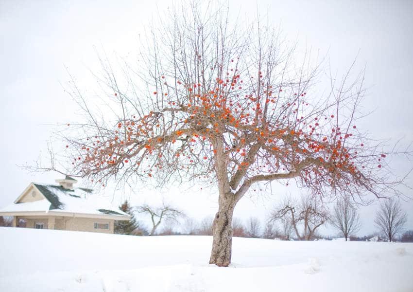 Apple Tree Winter - Cider Connoisseur